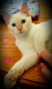☆☆SUPERBES CHATONS SIAMOIS  ☆ GORGEOUS SIAMESE RED POINTS☆☆