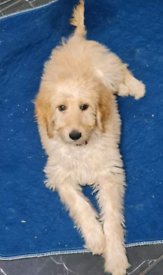READY NOW!!!! Beautiful golden doodle puppies