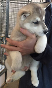 Siberian Husky Puppies - Males & Females