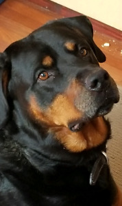 Almost 6 years old rottie