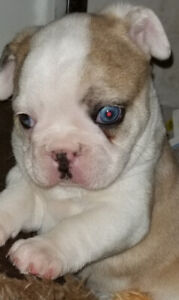 Frenchton male rare gorgeous merle steel blue eyes