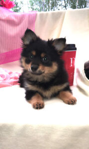Fluffy Pomchi puppies ready to be loved
