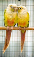 baby cannelle conure