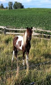 """38"""" ASPC/AMHR 2013 black pinto mare (reduced price to show home)"""