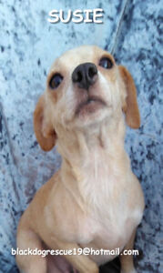 Very Sweet 3 year old blonde chihuahua rescue for adoption