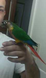 BEAUTIFUL YELLOW SIDED FEMALE CONURE WITH CAGE AND ACCESSORIES