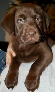 Chocolate Lab Pup CKC Registered
