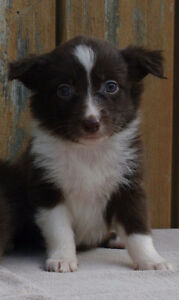 AUSTRALIAN SHEPHERD PUPPIES!  ONLY 1 LEFT !!