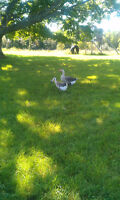 Two Geese For Sale