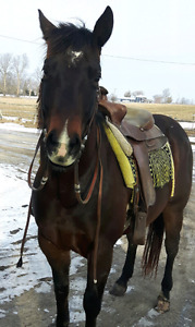 Four Year Old Registered Appaloosa Mare