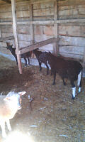 Four Lamb Looking For A New Residence