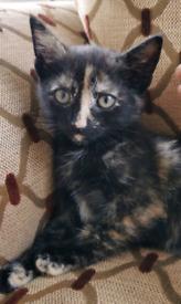 Beautiful Tortoiseshell Kitten