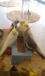 ❤♥☆♥ Cockatiel ♥ Babies with Cage and Food ♥☆♥❤
