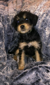 Beautiful jackapoo puppies for sale