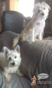 *FULL XMAS/NYE* CAGELESS SITTING SMALL DOGS IN HOME OF TRAINER West Island Greater Montréal image 1