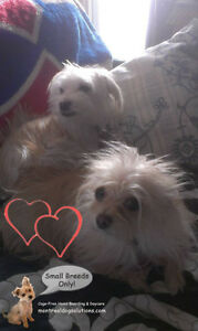 *HOLIDAYS FULL* PLAYDATES/SLEEPOVERS FOR NICE SMALL DOGS West Island Greater Montréal image 2
