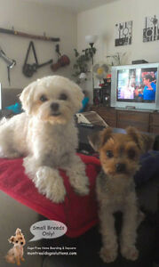 *FULL FOR HOLIDAYS* Dog Daycare & sleepovers for small dogs West Island Greater Montréal image 7