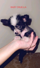 Chinese Crested- Hairy Hairless & Powder Puff boys and girls