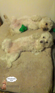 SINCE 2010 **Small Breed Dog Playdates,Sleepovers (No Cages)** West Island Greater Montréal image 3