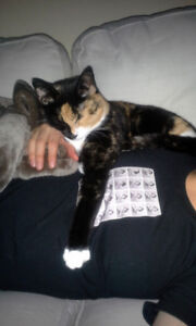 sweet calico kitty, free to the right home