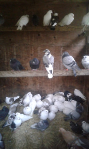 Pigeons for sale $2 each