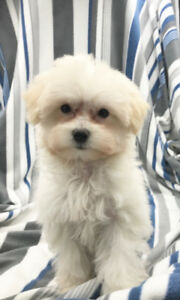 Teacup  Adopt Dogs amp Puppies Locally in Ontario  Kijiji
