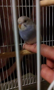 Baby tame budgie for sale