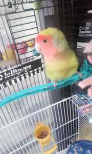 Very friendly Love bird with cage