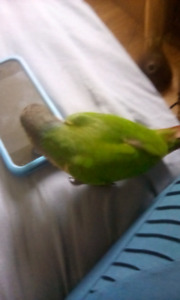 Looking for a female yellow sided conure