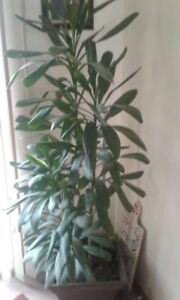 BEAUTIFUL & HEALTHY HOUSE PLANT  APPROX. FIVE FEET TALL