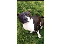 Free Staffordshire bull terrier male