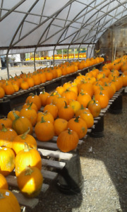 Pumpkins Straw Bales Mums Corn Stalks