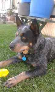 Cattle dog needed Ipswich Ipswich City Preview