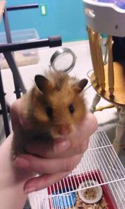 3 hamster femelles a donner.