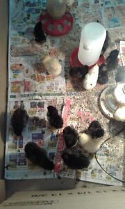 chicks and fertile eggs for sale