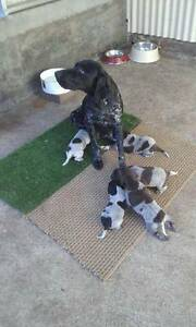 German shorthaired pointer puppies for sale Coniston Wollongong Area Preview