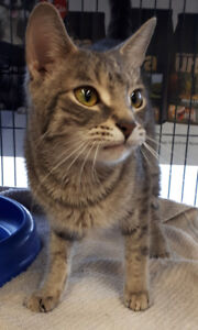 Misty - rescued grey tabby female for adoption