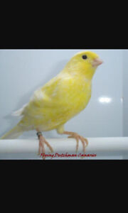 Canary Pure Yellow ready for Re homing very Friendly