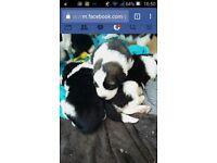 St Bernard x New Founland puppies