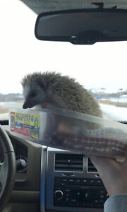 Hedgehog for sale with cage and toys