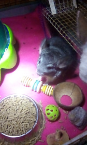 Baby male grey chinchilla $100