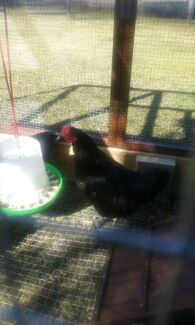 Free langshan rooster Windella Maitland Area Preview