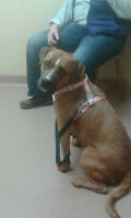 ANNA - Boxer/Lab Mix - Young Adult Female