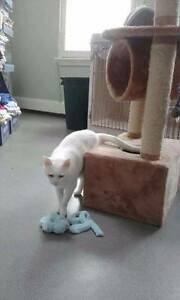 SNOWY FOR ADOPTION FROM VET HOSPITAL Woollahra Eastern Suburbs Preview