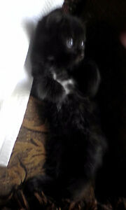 Cute Black kittens with some white all have dark blue eyes
