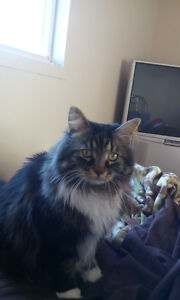 Main coon cat for sale