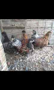 Bantams chickens Inverell Inverell Area Preview