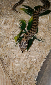 Hognose for Trade