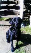 Beautiful 11 month old Lab FEMALE Beaudesert Ipswich South Preview