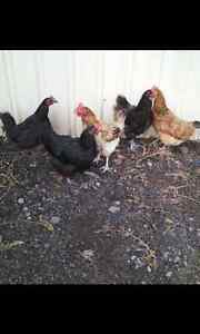 Laying hens Inverell Inverell Area Preview